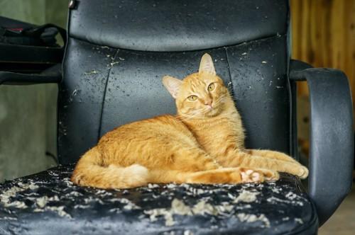 ボロボロの椅子に座る猫