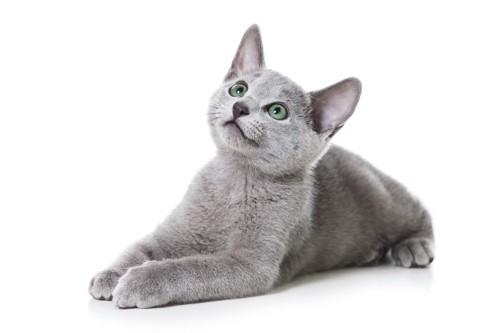 伏せで上を見つめるロシアンブルーの子猫