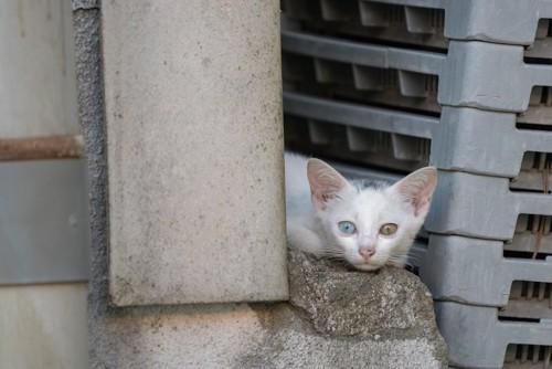 石の上でくつろぐオッドアイの子猫