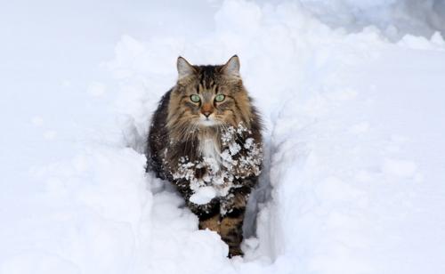 雪のノルウェージャンフォレストキャット