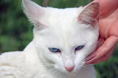 人に撫でられているブルーアイの白猫