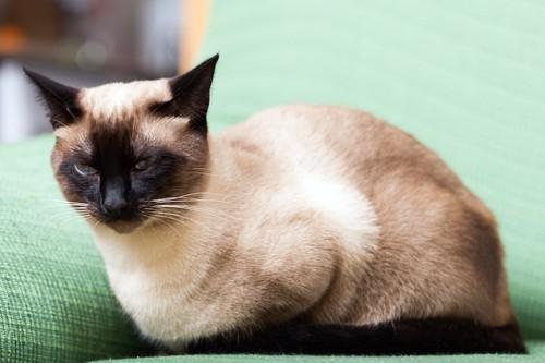 ソファーの上に座るシャム猫