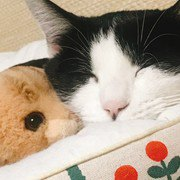 ぬいぐるみとくっついて寝る猫