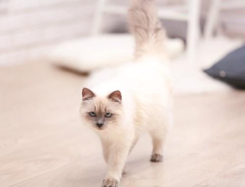 部屋を歩き回る猫