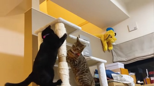 キャットタワーで遊ぶ2匹の猫