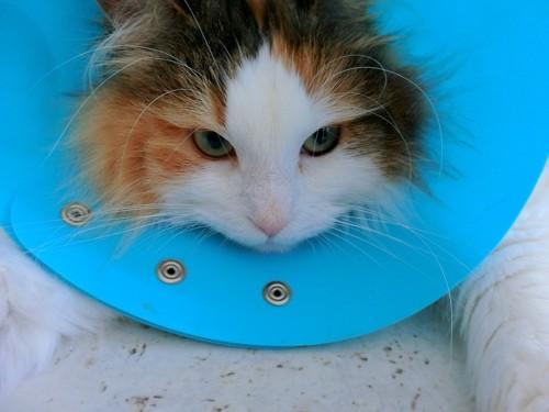 青いカラーをされた猫