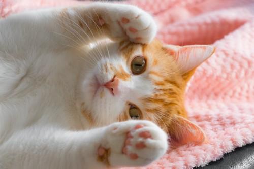 仰向けに寝転んでかわいいポーズをする猫