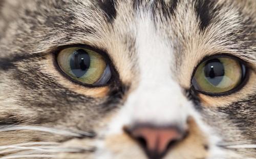 ヘーゼル色の瞳の猫