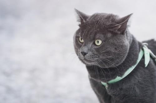 ハーネスをつけたグレーの猫