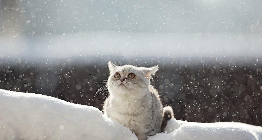 雪の中で空を見上げる猫