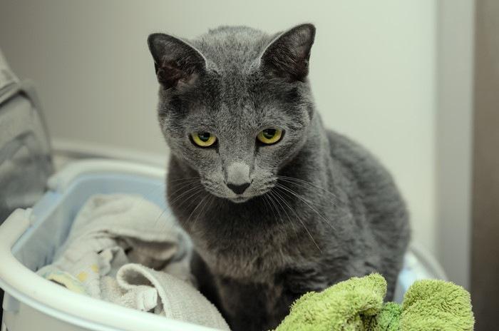 洗濯かごに入っている猫