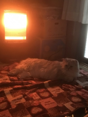 電気ストーブでぬくぬくする猫