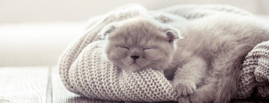 飼い主のセーターの上で眠る子猫