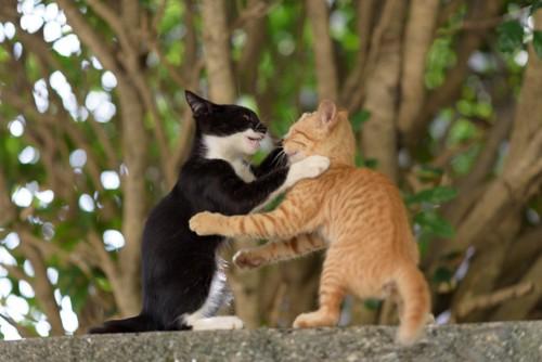 ジャレあって遊ぶ2匹の子猫
