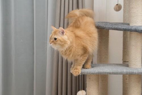 キャットタワーであそぶ猫マンチカン