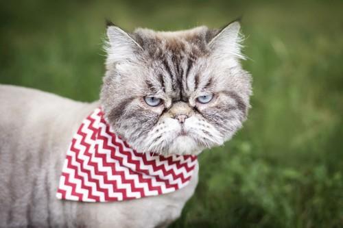 バンダナを首に巻いた猫