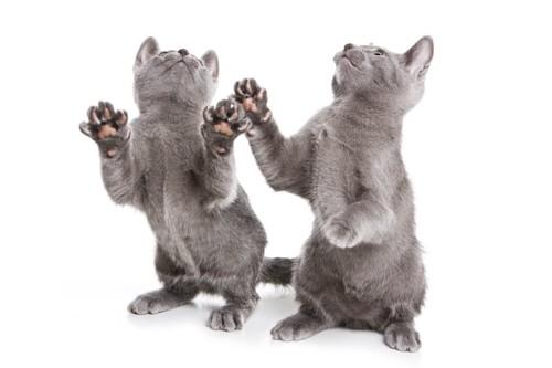 立ち上がる二匹のロシアンブルーの子猫