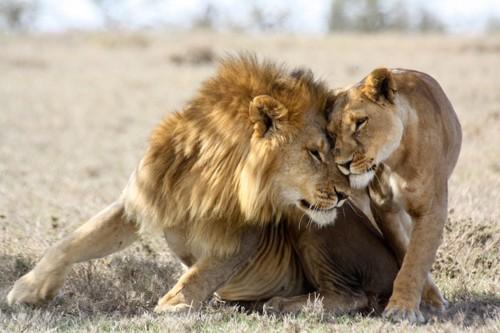 寄り添うライオンのカップル