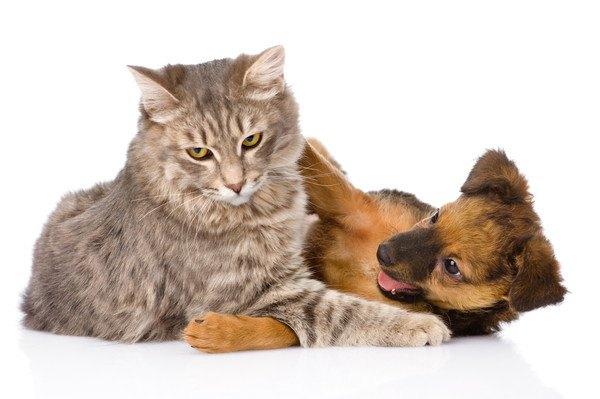 じゃれる怒る顔の猫と子犬