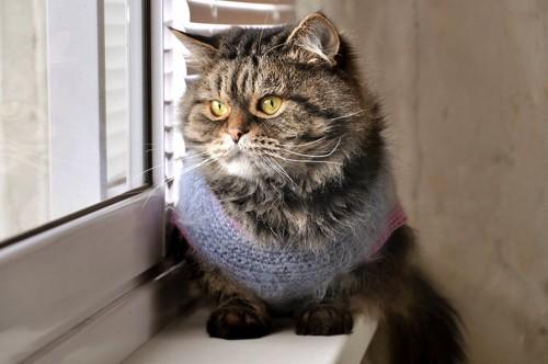 セーターを着ている猫