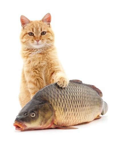 魚を触る猫