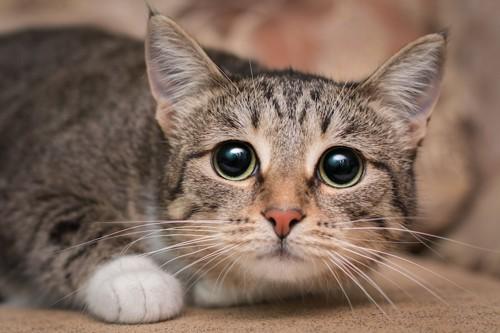 姿勢を低くしてこちらを見つめる猫
