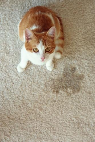 カーペットに粗相した猫