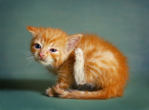 耳をかく茶トラの子猫