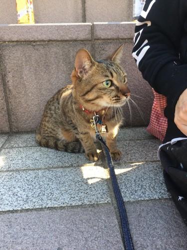 リードをつけて散歩する猫