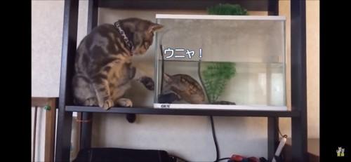 亀が気になる猫