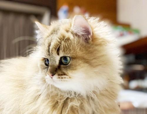 かわいいペルシャ猫のアップ