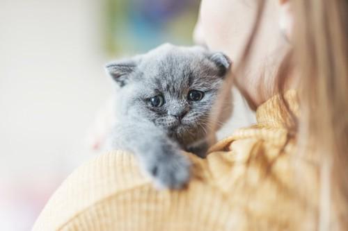 飼い主に抱かれたグレーの子猫