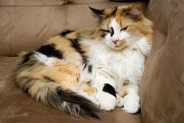 くつろぐ長毛の三毛猫