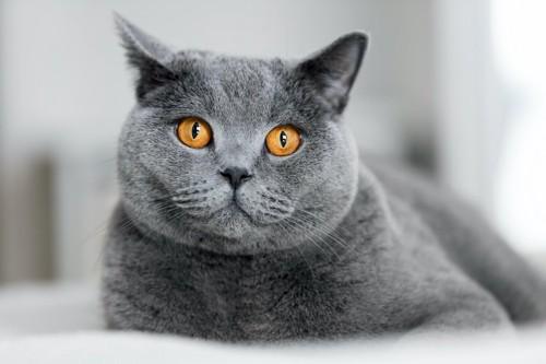 ぷっくりした口元のグレーの猫