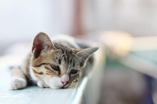 物憂げな表情で伏せる猫