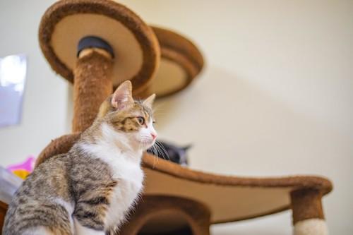 キャットタワーに座っている猫の横顔