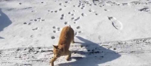 雪上を歩く猫