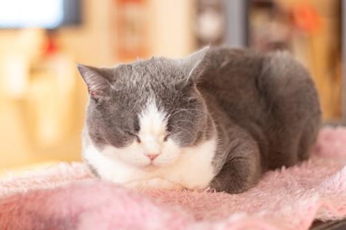 香箱座りで眠るグレー白猫