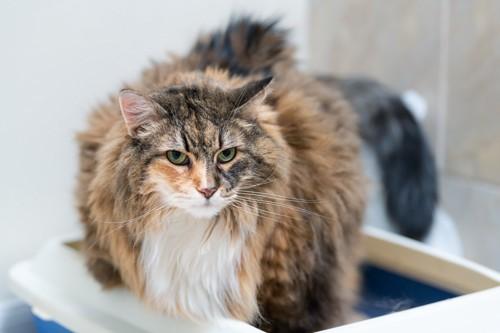 トイレの中からこちらを見る猫