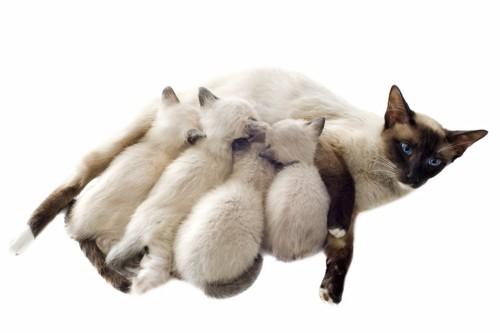 授乳する猫