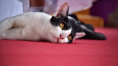 ふて寝する猫