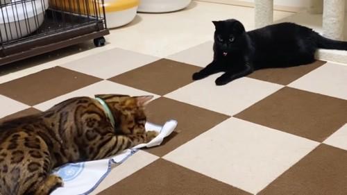 ベンガルを見つめる黒猫