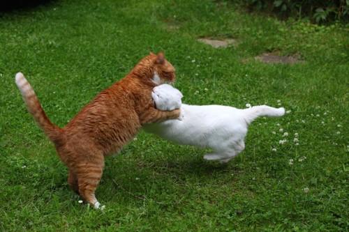 芝生の上で取っ組み合いの喧嘩をする猫