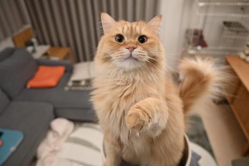おねだりする猫