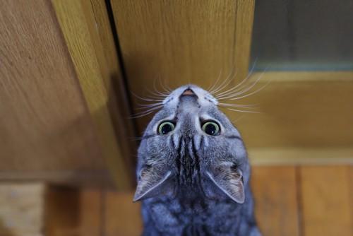 ドアを見上げる猫