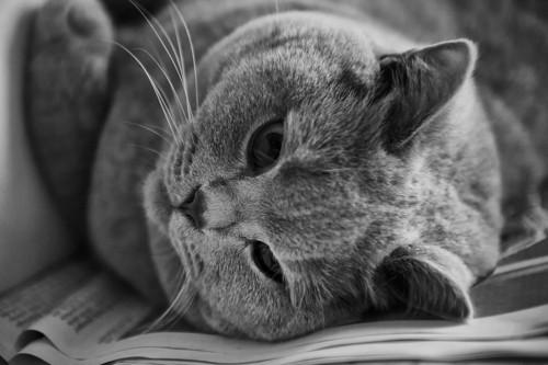 寝転がるブリティッシュショートヘアのモノクロ写真