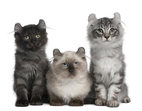 毛色の違う3匹のアメリカンカール