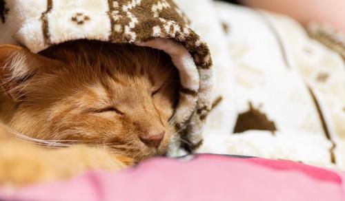 毛布にくるまる猫
