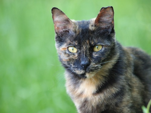 見つめるサビ柄猫