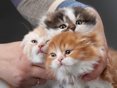スコティッシュフォールドの子猫達